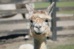 De alpaca zegt wat? Stock Afbeelding