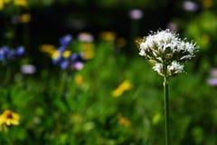 De alpiene bloem van de zomer Stock Fotografie