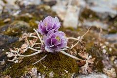 De alpiene Bloemen van de rozenberg van de Alpen royalty-vrije stock afbeeldingen
