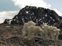 De alpiene Geiten van de Berg Stock Afbeeldingen