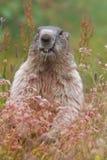 De alpiene marmot (Marmota-marmota) op gras Stock Afbeelding