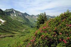De alpiene rozen Stock Afbeeldingen