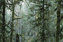 De altijdgroene bomen van de spar in een oud de groeibos Royalty-vrije Stock Foto's