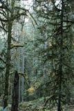 De altijdgroene bomen van de spar in een oud de groeibos Royalty-vrije Stock Afbeeldingen