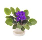 De altviool van de bloem in pot op wit Stock Foto