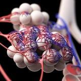 De alveolen royalty-vrije illustratie