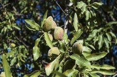 De amandelen in de boom, natuurlijke amandelen, amandelen begonnen te rijpen, amandelfruit op de boom, stock foto