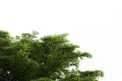 De amandeltak van Ivoorkust met zonnestraal op witte achtergrond stock fotografie