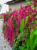 De amarant wordt gekweekt in Zuid-Amerika als bladgroenten, graangewassen en sierplanten De amarantzaden zijn een rijke bron van royalty-vrije stock foto's