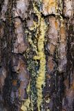 De amberstromen van het harssap in stromen langs de schors van pijnboom stock fotografie