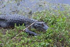 De Amerikaanse Alligator stock afbeeldingen
