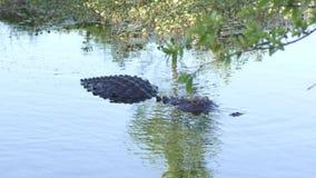 De Amerikaanse alligator zwemt in het moerasland van Florida stock videobeelden
