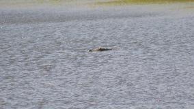 De Amerikaanse alligator zwemt over de Brede vijver van Florida, 4K stock video