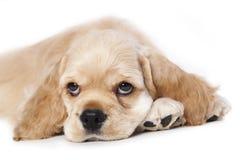 De Amerikaanse Cocker-spaniël van het puppy Royalty-vrije Stock Afbeeldingen