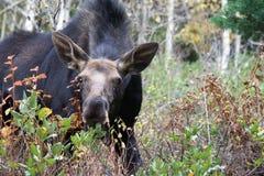 De Amerikaanse eland bekijkt camera terwijl het eten Stock Foto's