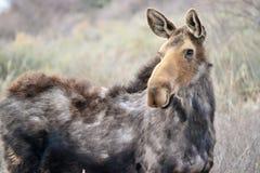 De Amerikaanse eland staart Stock Afbeeldingen