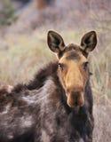 De Amerikaanse eland staart Stock Foto's