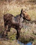 De Amerikaanse elanden Royalty-vrije Stock Foto's