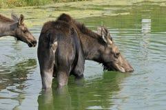 De Amerikaanse elanden Royalty-vrije Stock Foto