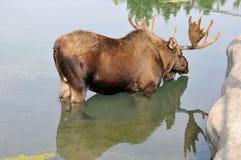 De Amerikaanse elanden Stock Afbeelding
