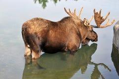 De Amerikaanse elanden Stock Foto's