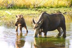 De Amerikaanse elanden die van de koe in een vijver voeden Stock Foto's