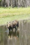 De Amerikaanse elanden die van de koe in vijver voeden Stock Afbeeldingen