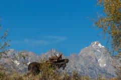 De Amerikaanse elanden Rutting van stierenshiras in Tetons stock foto