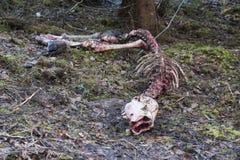 De Amerikaanse elanden strucked door wolf Royalty-vrije Stock Afbeeldingen