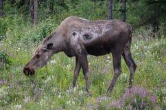 De Amerikaanse elanden van Alaska in de Wildernis royalty-vrije stock foto