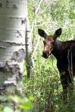 De Amerikaanse elanden van de baby royalty-vrije stock afbeelding