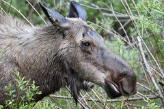 De Amerikaanse elanden van de koe Royalty-vrije Stock Afbeeldingen