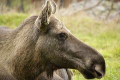 De Amerikaanse elanden van de koe Stock Foto