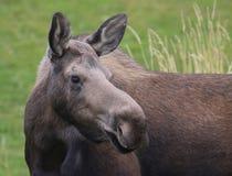 De Amerikaanse elanden van de koe Stock Afbeeldingen