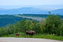 De Amerikaanse elanden van de koe en van de Baby Stock Fotografie