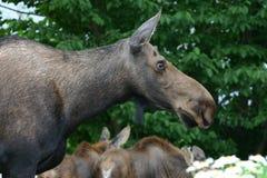 De Amerikaanse elanden van de moeder Stock Afbeelding