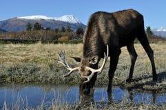 De Amerikaanse elanden van de stier stock afbeeldingen