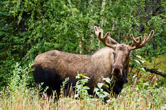 De Amerikaanse elanden van de stier Royalty-vrije Stock Foto