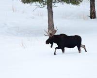 De Amerikaanse elanden van de stier Royalty-vrije Stock Fotografie