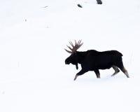 De Amerikaanse elanden van de stier Stock Foto's