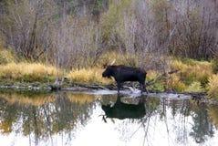 De Amerikaanse elanden van de stier in moeras stock afbeelding