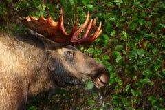 De Amerikaanse elanden van de Stier van Alaska Stock Fotografie