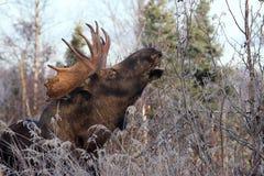 De Amerikaanse elanden van de Stier van Alaska Royalty-vrije Stock Afbeeldingen