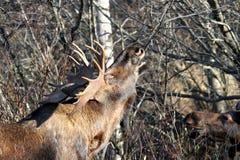 De Amerikaanse elanden van de Stier van Alaska Stock Foto's