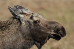 De Amerikaanse elanden van de Stier van Alaska Royalty-vrije Stock Foto's