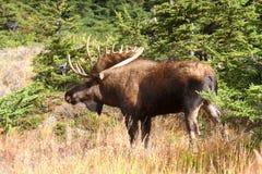 De Amerikaanse elanden van de Stier van Alaska Royalty-vrije Stock Afbeelding