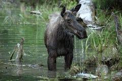 De Amerikaanse elanden van Montana Stock Foto's