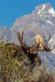 De Amerikaanse elanden van stierenshiras in Tetons stock foto