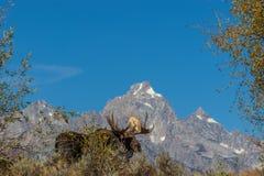 De Amerikaanse elanden van stierenshiras in Tetons in Daling royalty-vrije stock foto