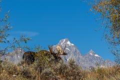 De Amerikaanse elanden van stierenshiras in Tetons in de Herfst royalty-vrije stock foto's